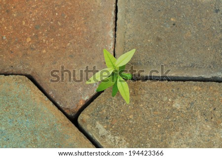 weed growing through crack in pavement ,young plant  - stock photo