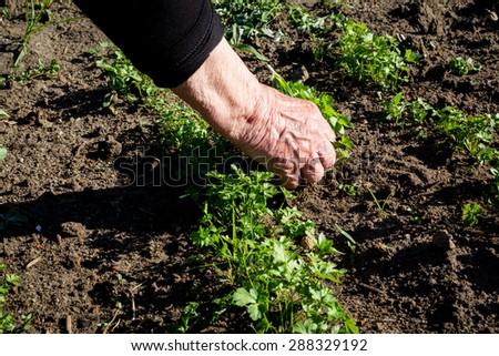 Weeding hand in the vegetable garden - stock photo