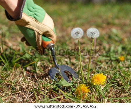 Weeding the lawn and grass. Garden Jobs for a prefect lawn. - stock photo