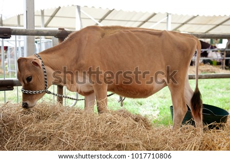 WEEDON, UK - AUGUST 28: A young Jersey cow is left to continue eating in one of the back areas having competed in one of the cattle competitions at the Bucks County Show on August 28, 2014 in Weedon