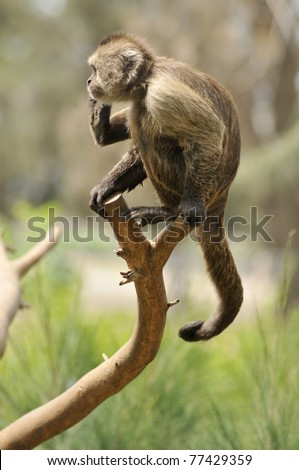 WEEPER CAPUCHIN monkey - stock photo