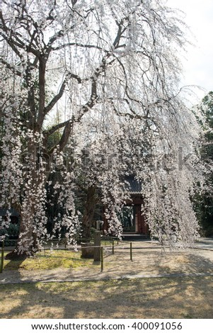 Weeping cherry tree of japanese shrine