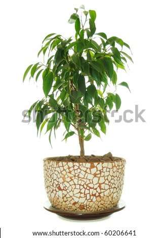 Weeping Fig (Ficus Benjamina) in Pot - stock photo
