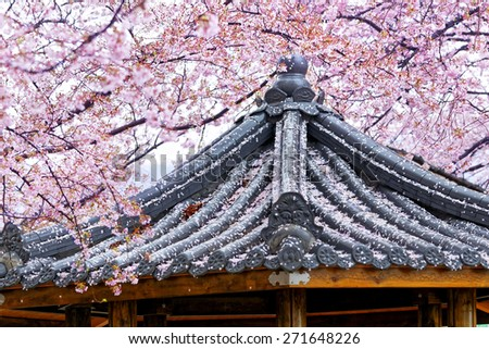 Weeping sakura infront of japanese temple at day