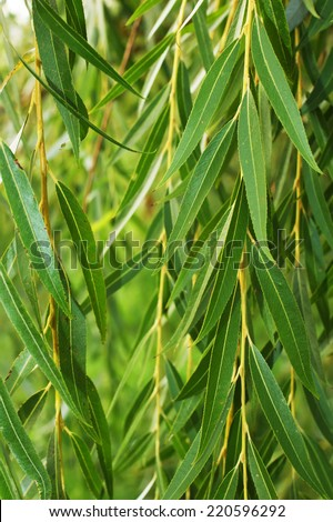 weeping willow background, weeping willow foliage - stock photo