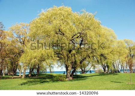 Weeping willow tree on a sunny day - stock photo