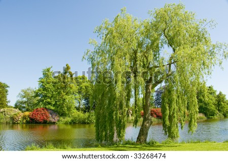 Weeping willow tree on the bank of a river in the summer