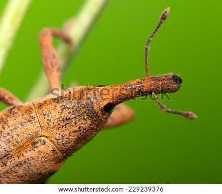 weevil beetle closeup - stock photo