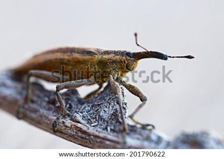 weevil beetle macro - stock photo