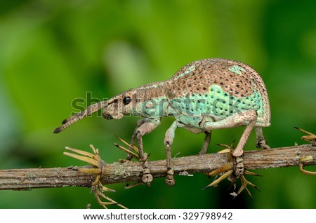 weevil on branch