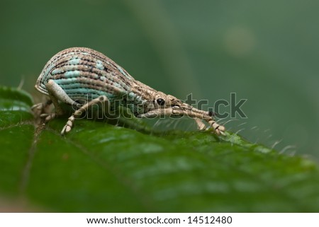 Weevil on leaf