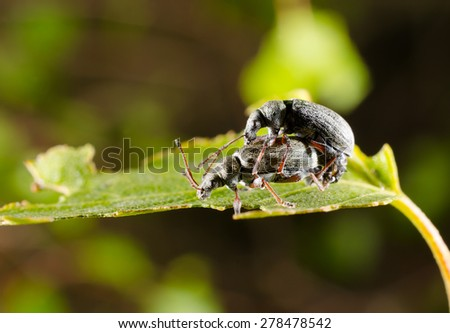 weevil pairing on birch leaf - stock photo