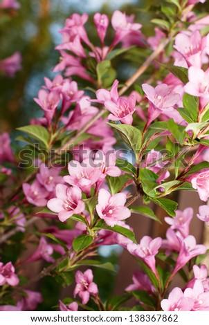 Weigela flowers - stock photo