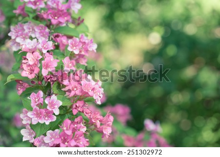 Weigela flowers with copy space. - stock photo