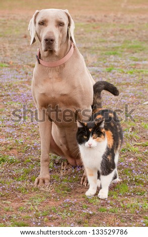 Weimaraner dog and a calico cat in spring grass - friends together - stock photo