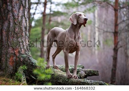 weimaraner dog and dry tree - stock photo