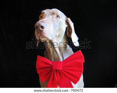 Weimaraner Dog Christmas Holiday red bow - stock photo