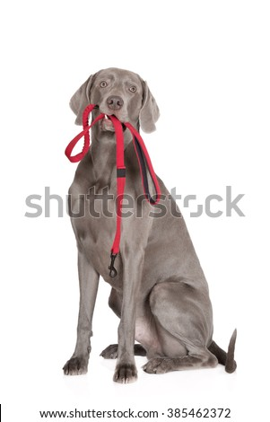 weimaraner dog holding a red leash