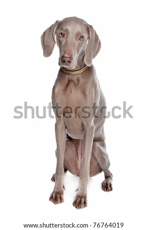 weimaraner dog in front of a white background