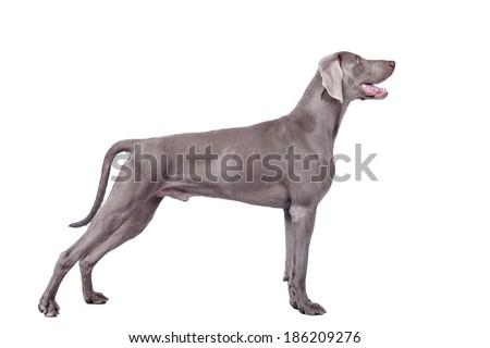 Weimaraner Dog isolated on white - stock photo