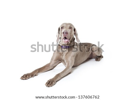 weimaraner dog isolated on white, weimaraner dog - stock photo