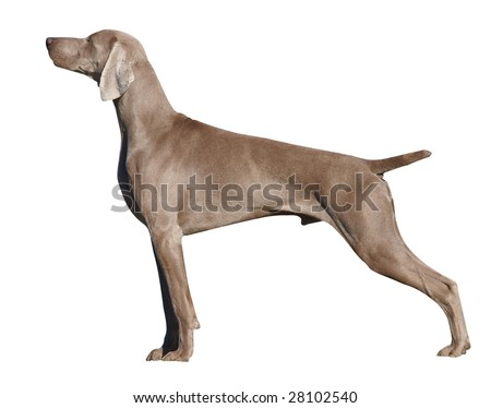 Weimaraner Dog isolated with clipping path - stock photo