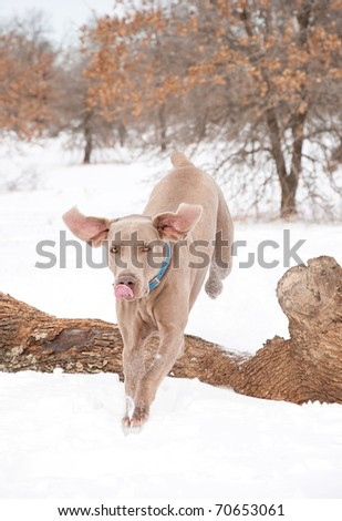 Weimaraner dog jumping over a log towards the viewer in winter with snow on the ground - stock photo