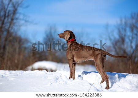 weimaraner dog look to the forest - stock photo