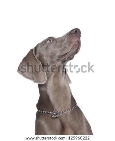 weimaraner dog looking up , weimaraner dog - stock photo