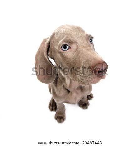 Weimaraner dog puppy over white background - stock photo