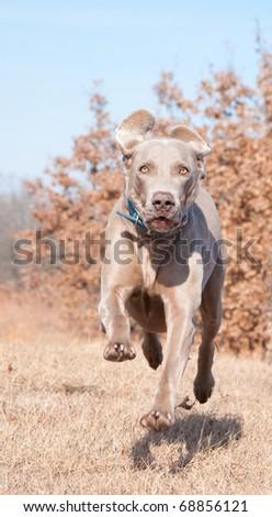 Weimaraner dog running at full speed towards the camera - stock photo