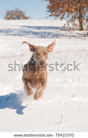 Weimaraner dog running in deep snow towards the viewer - stock photo