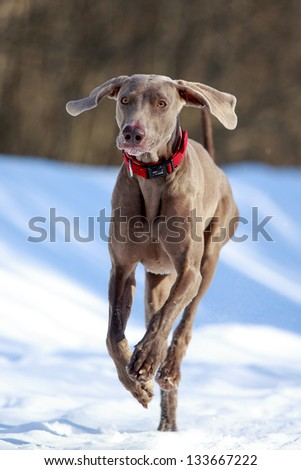weimaraner dog runs in winter - stock photo
