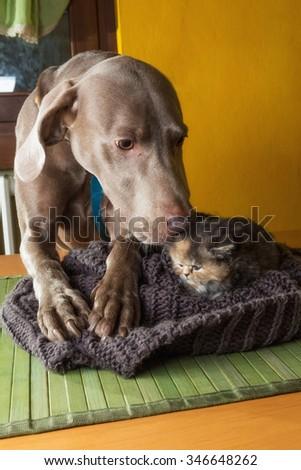 Weimaraner dog with puppy persian cat - stock photo