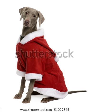 Weimaraner in Santa coat, sitting in front of white background - stock photo