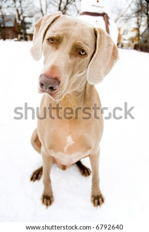 Weimaraner in the snow - stock photo
