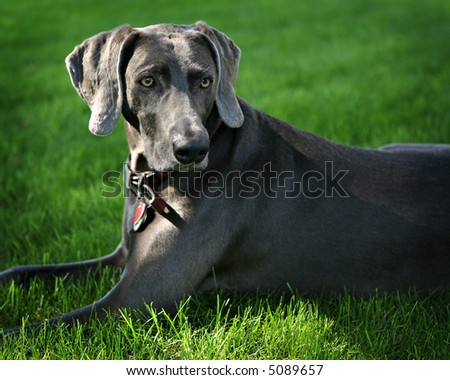 Weimaraner, Outdoor Portrait - stock photo