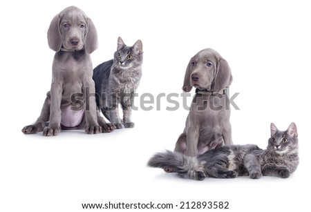 Weimaraner puppy and kitten, Cat and dog - stock photo