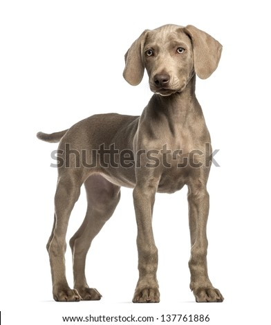 Weimaraner puppy, 2,5 months old, standing, isolated on white - stock photo