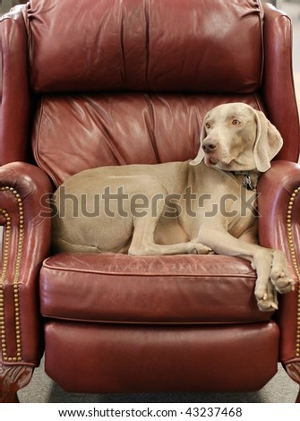 weimariner dog sitting in leather chair