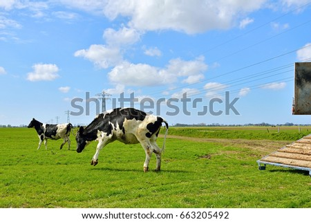 Weird cow run and jump in field after livestock transport to field.