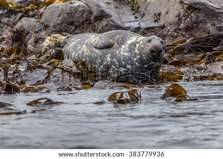 Well-fed Atlantic Grey Seal (Halichoerus grypus) resting on rocks in kelp field and looking in the camera on Farne islands, England - stock photo