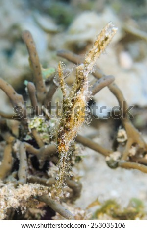 Well hidden Robust Ghost Pipefish on a tropical coral reef