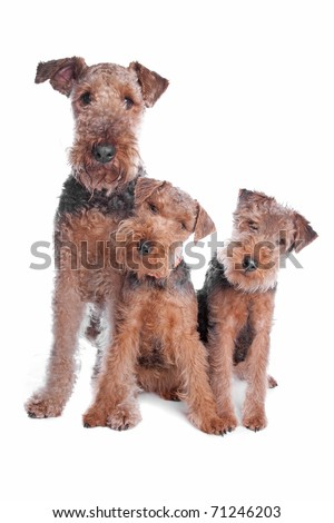 Welsh Airedale Terrier dogs - stock photo