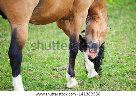 Welsh Cob pony is scratching itself with the head at the leg