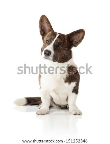 Welsh Corgi Cardigan isolated on white background - stock photo
