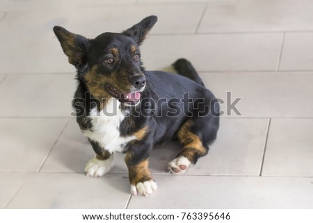 Welsh Corgi close-up