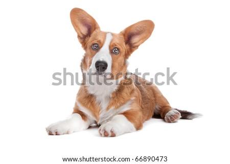 Welsh Corgi dog lying, isolated on a white background - stock photo
