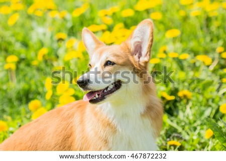 Welsh Corgi dog on a bright yellow background green grass