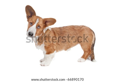 Welsh Corgi dog standing and looking at camera, isolated on a white background - stock photo